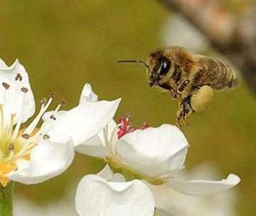 Bee on pear