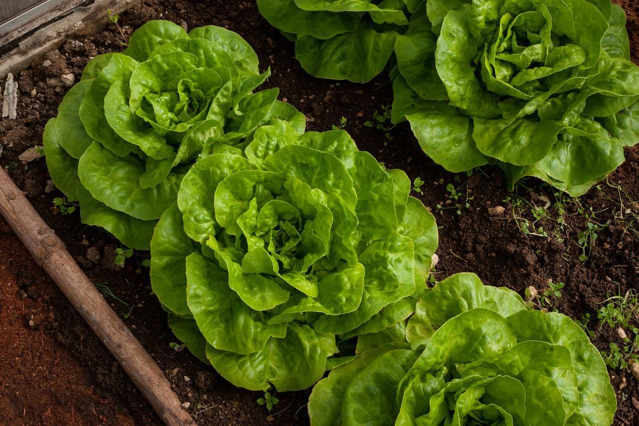 salata-cultivare