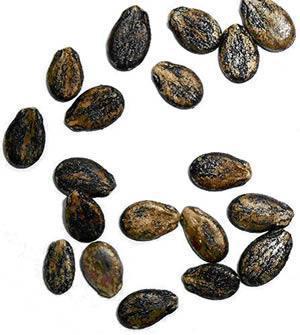 seminte-pepene-verde