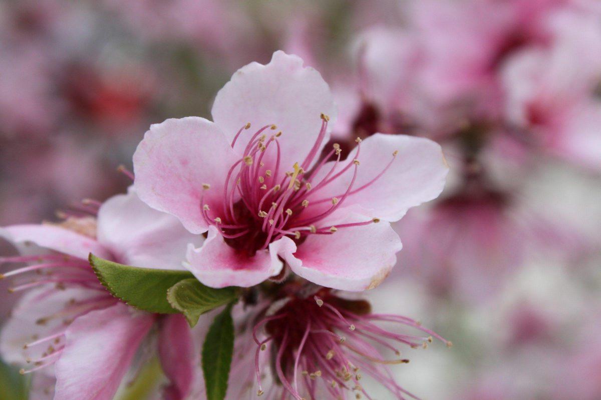 floare-de-piersic