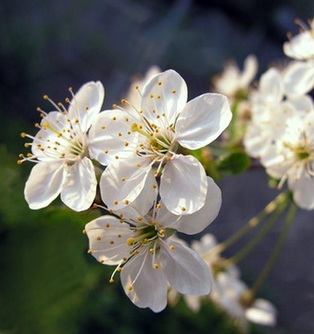 flori-de-prun