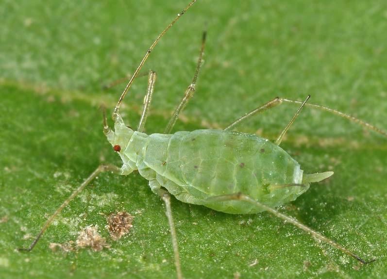 paduchele verde adult