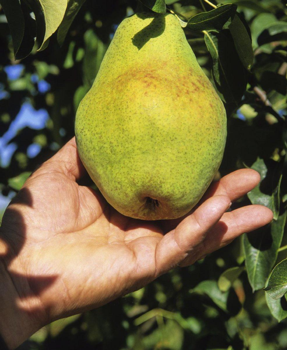 pear-harvest