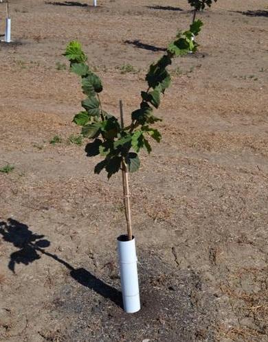 plantare-alun