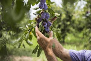 recoltare-prune