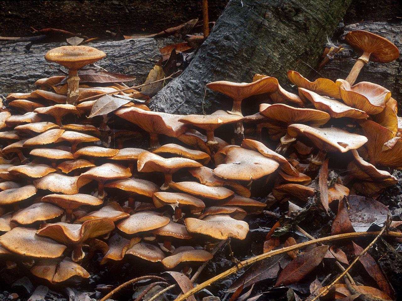 Gheba-de-radacini-ciupercile-trunchiului