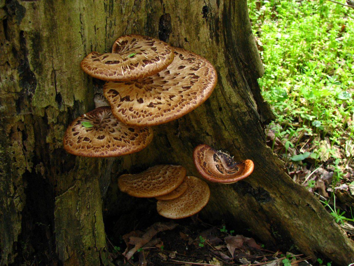 polyporus-squamosus-ciupercile-trunchiului