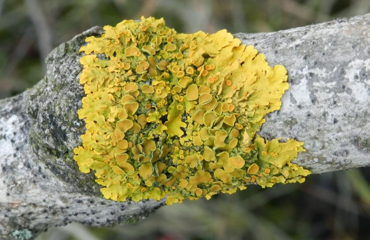 Licheni galbeni