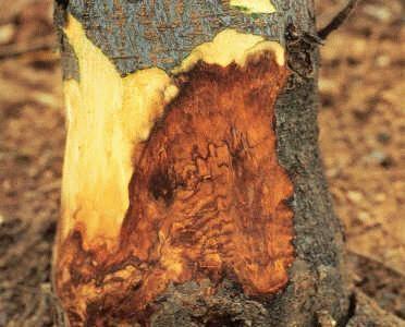 Putrezirea-coletului-pomului-ciupercile-trunchiului
