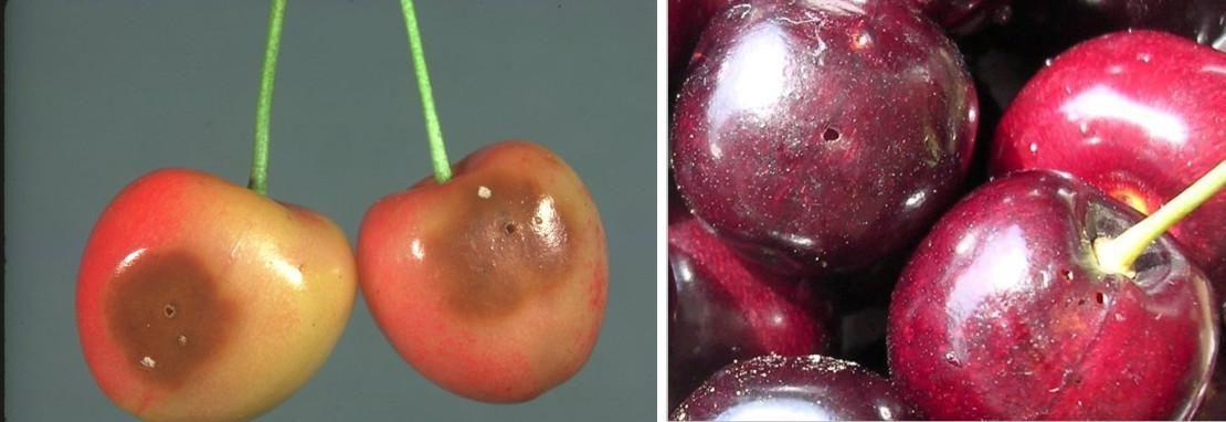 viermele-cireselor-in-fructe