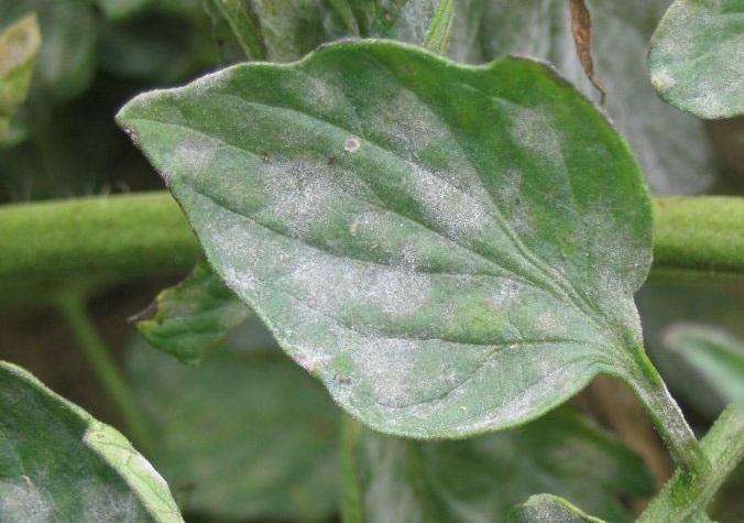 plante-atacate