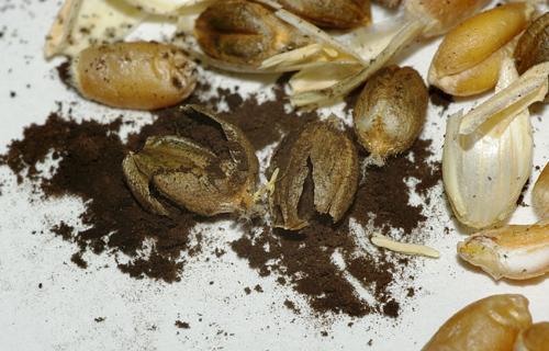 plante-atacate-2