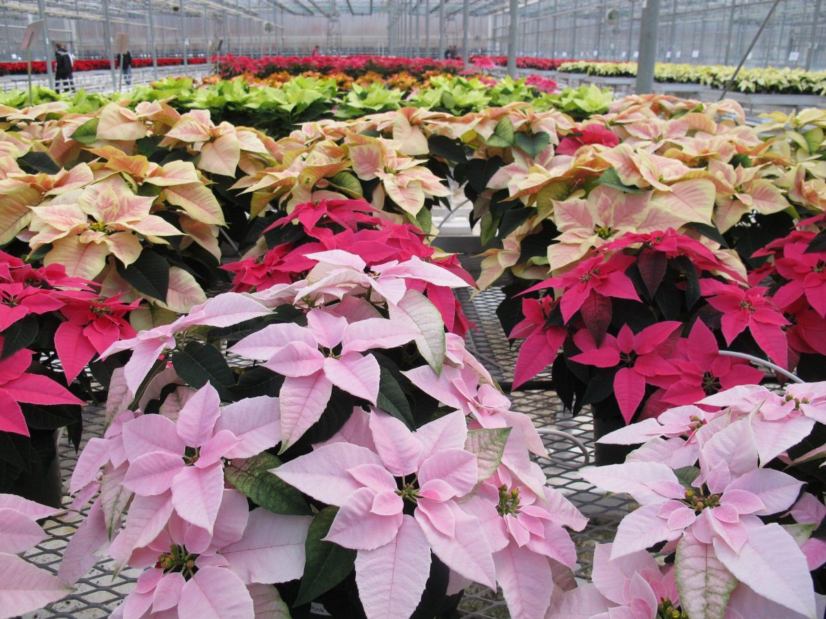 7673 A variety of colours at the Ontario Poinsettia Trials at Linwell Gardens.