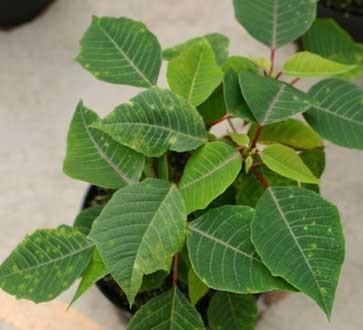 poinsettia-xanthomonas