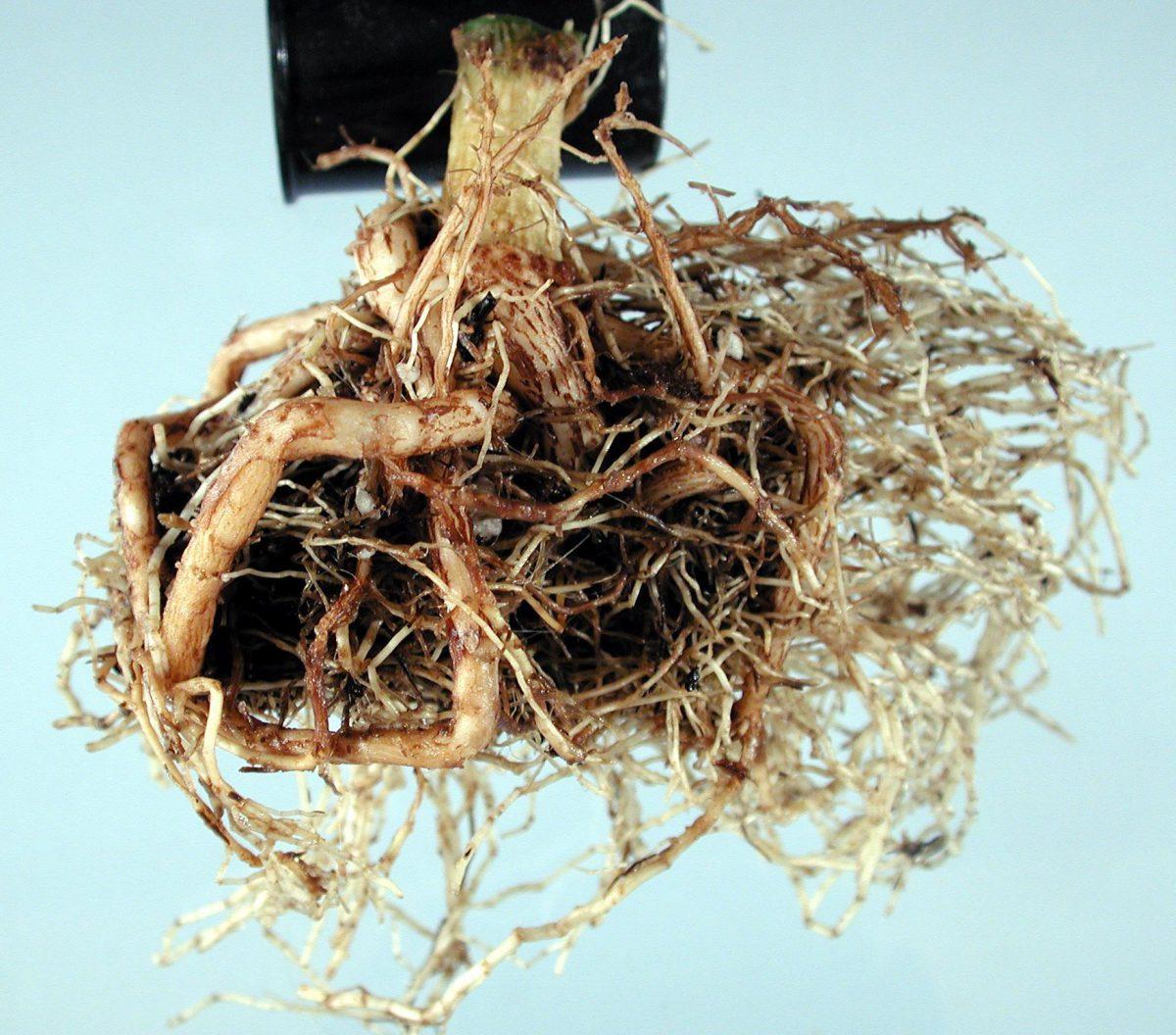 pythium-poinsettia