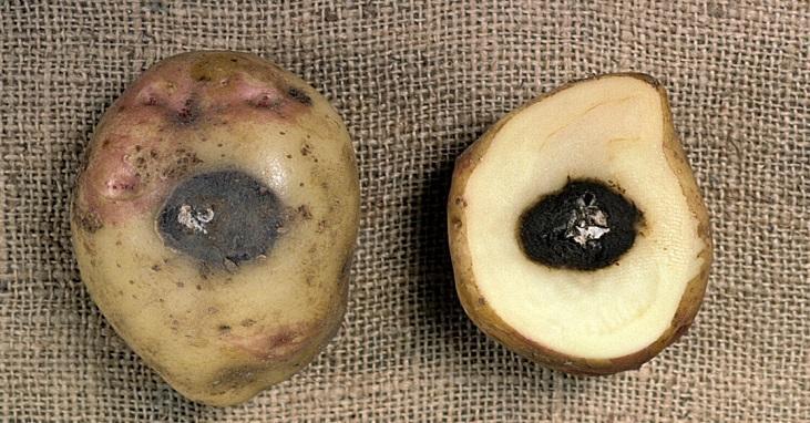 îmbinările pot fi tratate cu cartofi crude grătați)