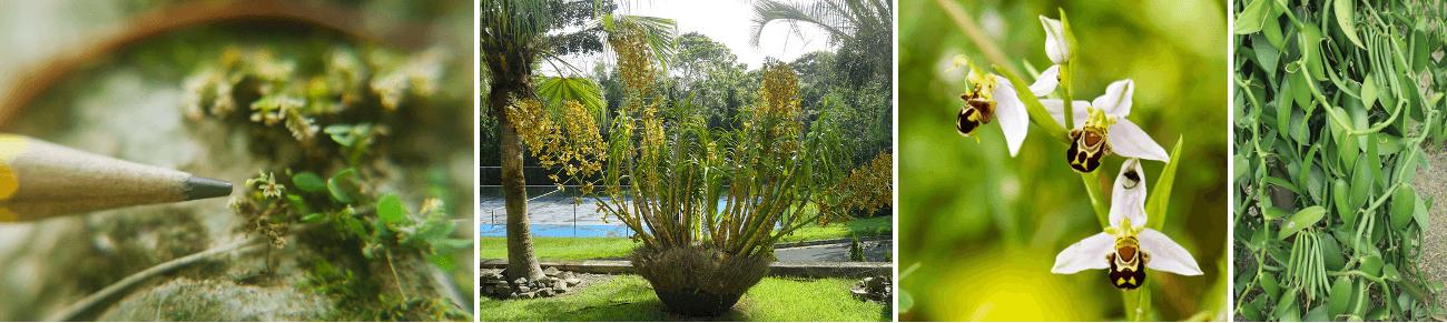 curiozitati-orhidee