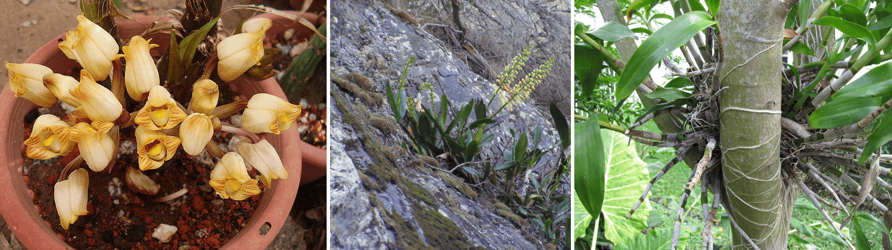 tipuri-de-orhidee