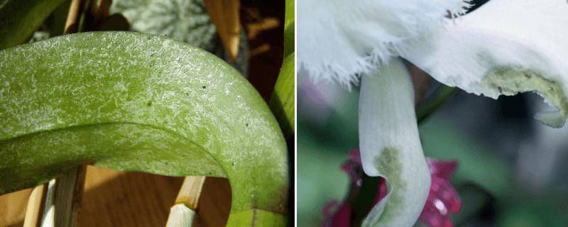 tripsi-orhidee