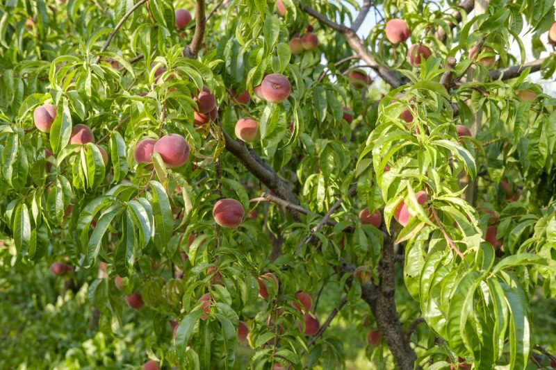 piersic-plantare-lucrari-de-ingrjire