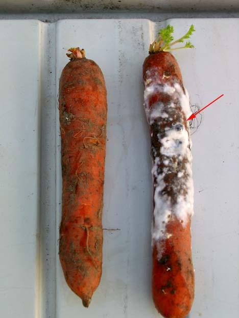 Putregaiul alb la morcov