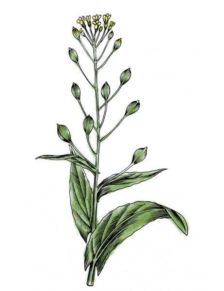 camelina-planta