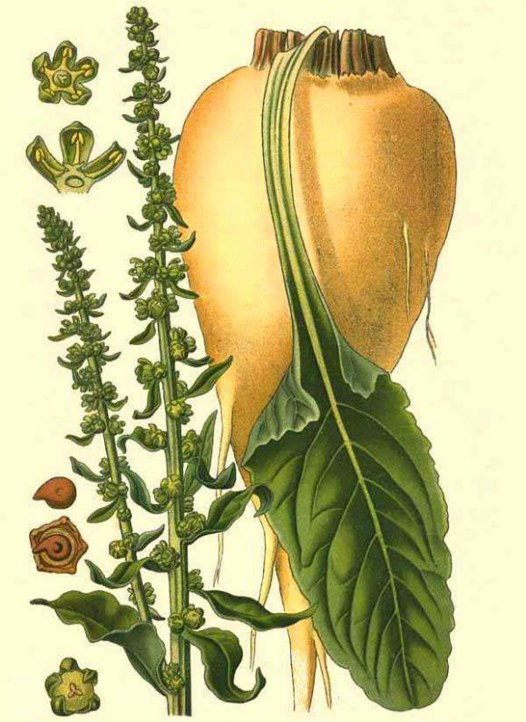sfecla-planta