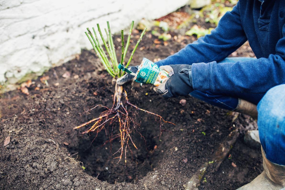 plantare-trandafir