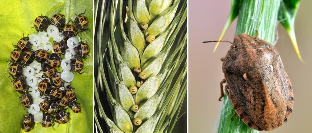 plosnita-cerealelor-stadii-dezvoltare