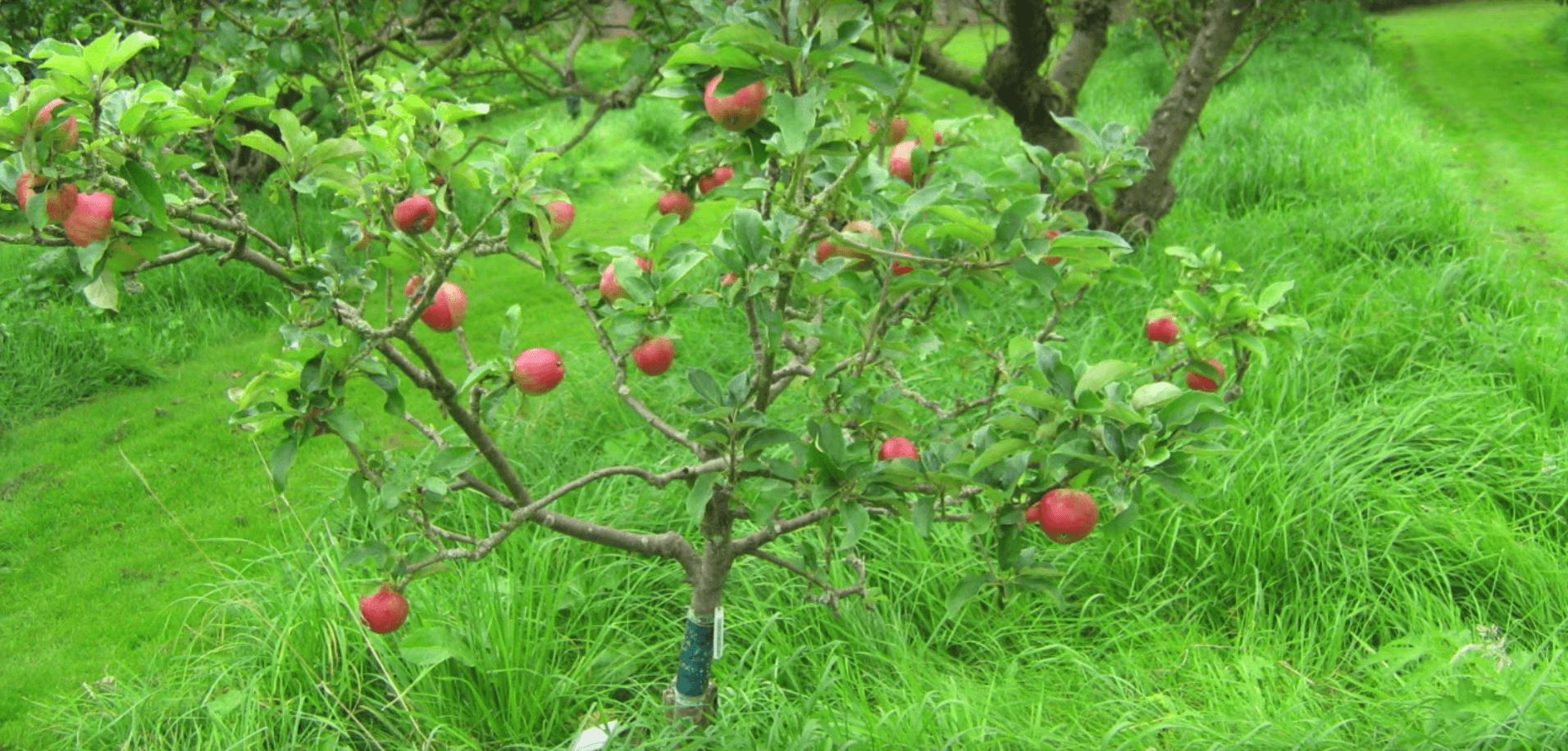 buletin avertizare pomi fructiferi