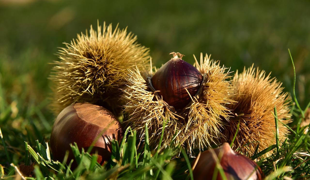 castan-comestibil