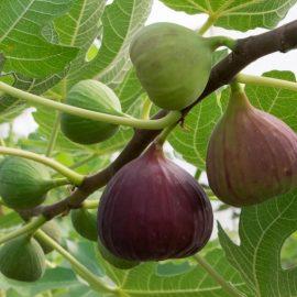 Pomi fructiferi smochin - Comunitatea Botanistii