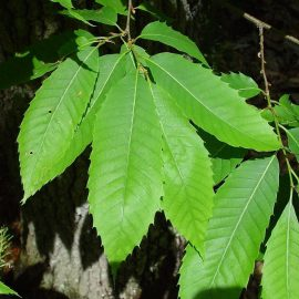 Pomi fructiferi castan - Comunitatea Botanistii