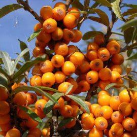 Arbusti catina - Comunitatea Botanistii
