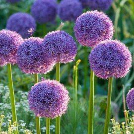 Flori de gradina ceapa decorativa - Comunitatea Botanistii