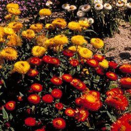 Flori de gradina flori de pai - Comunitatea Botanistii