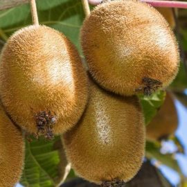 Arbusti kiwi - Comunitatea Botanistii