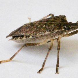 Insecte daunatoare plosnita cerealelor - Comunitatea Botanistii