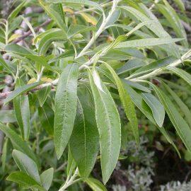 Plante tehnice salcia energetica - Comunitatea Botanistii