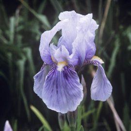 Aromatice si condimentare stanjenel - Comunitatea Botanistii
