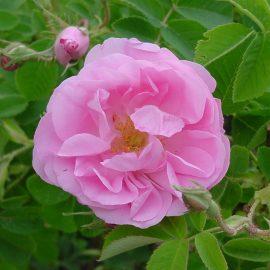 Arbusti trandafiri pentru petale - Comunitatea Botanistii