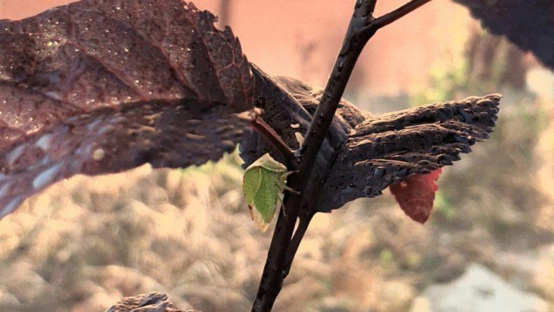 cicada-gheboasa-combatere