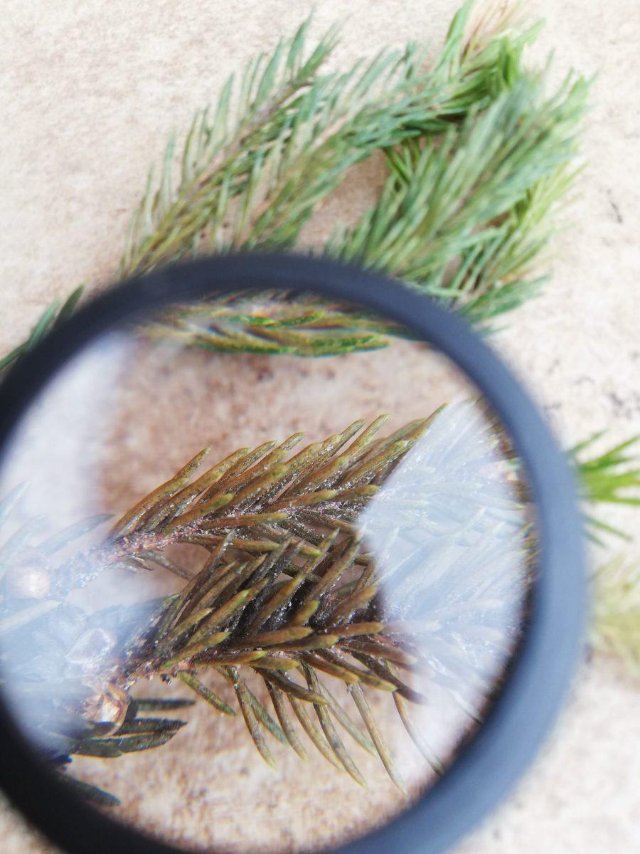 acarienii-atac-conifere