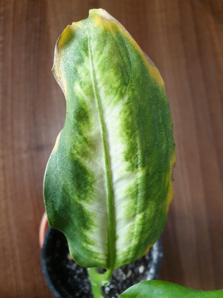 acarienii-atac-plante