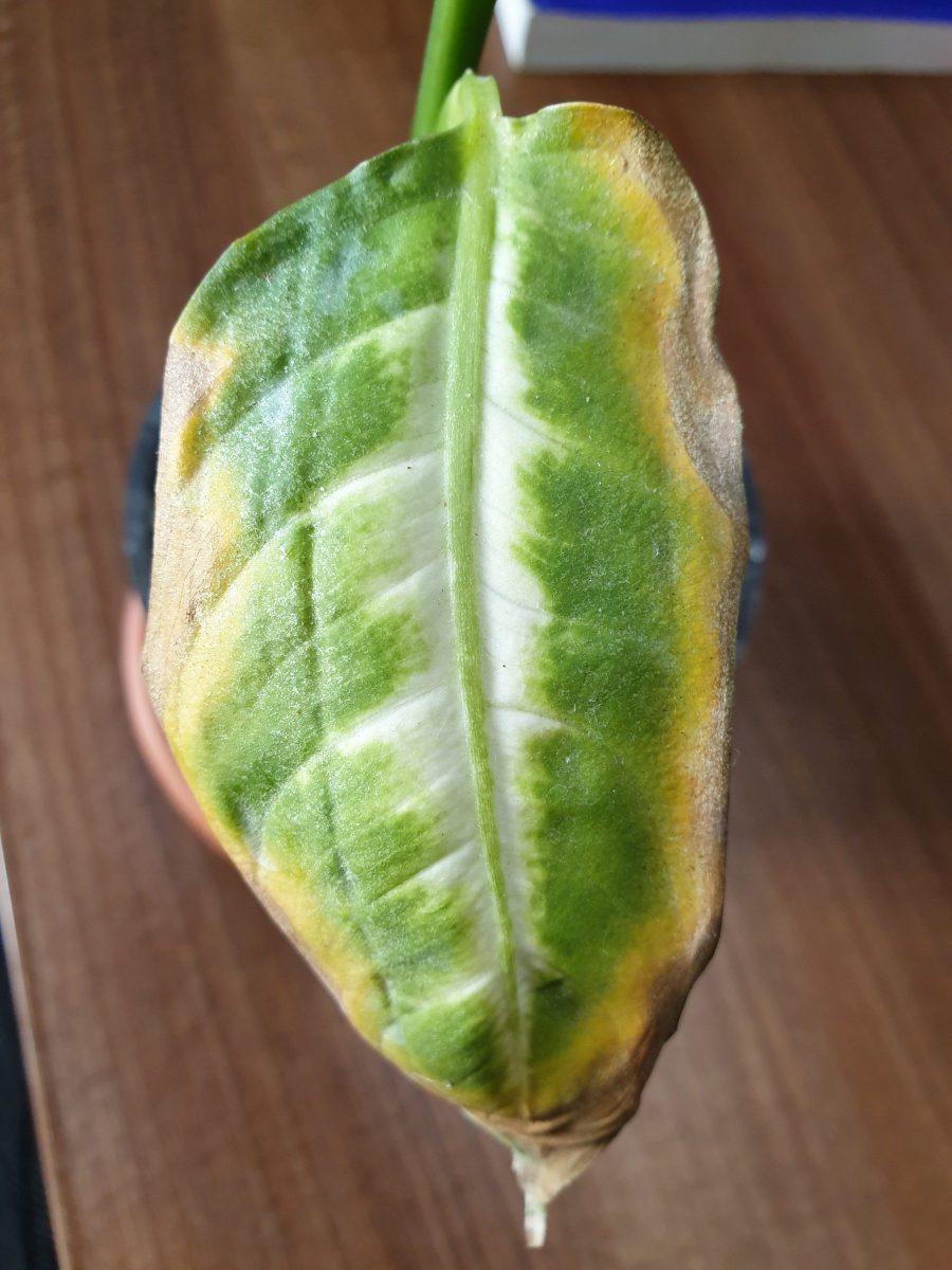 acarienii-plante-de-interior