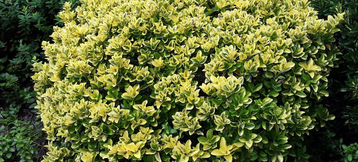euonymus-japonicus-crestere-ingrijire