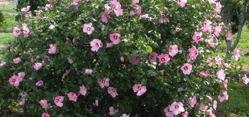 hibiscus-syriacus-exterior-ingrijire