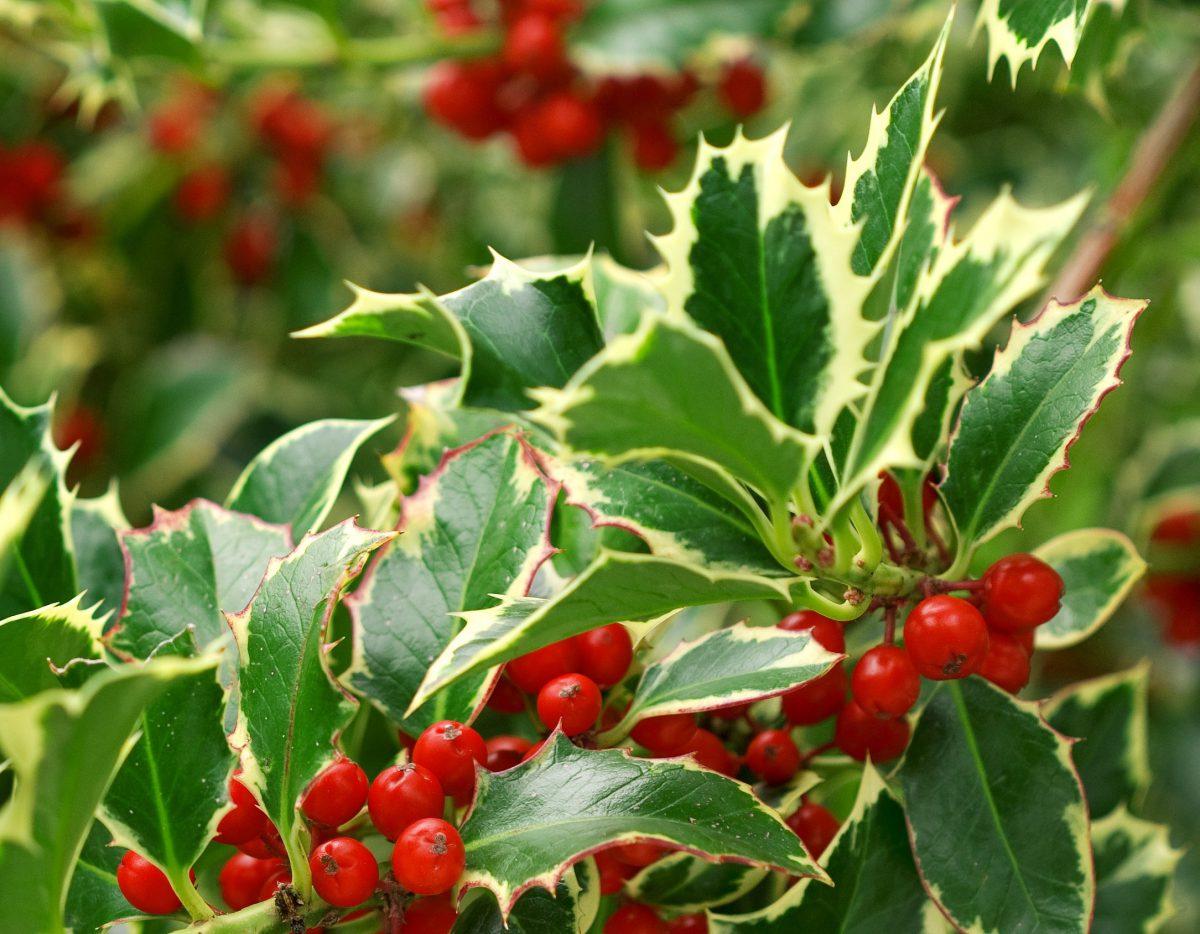ilex-albomarginata-fructe