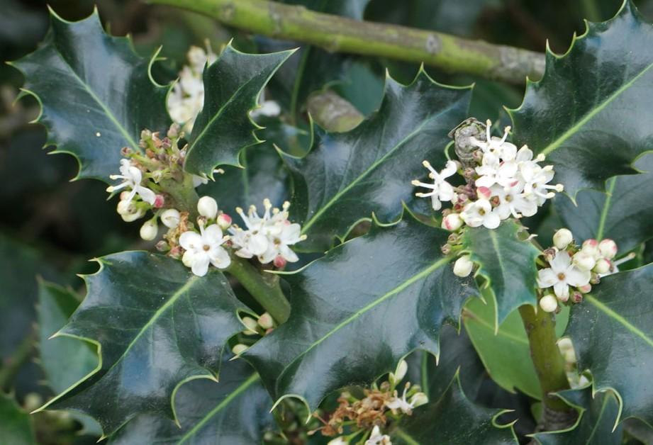 ilex-aquifolium-flori