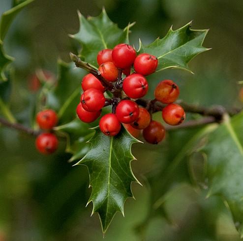 ilex-aquifolium-fructe-ingrijire